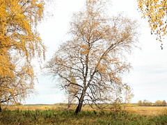 Siberian forest-steppe at the end of September (arthurverigin) Tags: russia siberia birch autumn forest field steppe