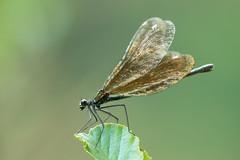 Calopteryx virgo (Gabor's dragonflies and damselflies) Tags: calopterygidae calopteryxvirgo deutschland europe európa germany kisasszonyszitakötő lindau németország odonata színesszárnyúszitakötők zygoptera passau bayern de nature macro wild animal insect wings