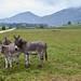 Donkeys of Vercors