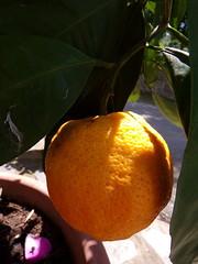 102_0799 (Cassiopée2010) Tags: fruit orange cévennes nature