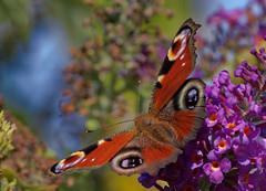 Colori D'Autunno (G.Sartori.510 Brucatura Olive) Tags: pentaxk1 smcpentaxda300mmf4edifsdm autunno autumn farfalla butterfly inachisio buddleja