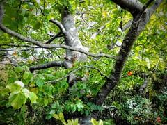 Haya (Fagus sylvatica) (quintanAopio) Tags: árbol silvestre autóctono caderechas bureba burgos