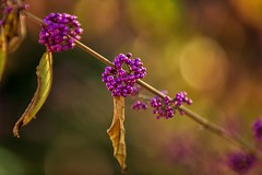 Purple (KPortin) Tags: berries purple kubotagarden shriveled bokeh beautyberry