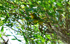 Male Wilson's Warbler (Cardellina pusilla) - record shot (Steve Arena) Tags: wilsonswarbler cardellinapusilla anahuac anahuacnwr chamberscounty texas 2018 nikon d750 bird birds birding