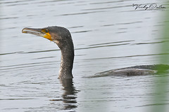 Cormorant (vickyouten) Tags: cormorant cormorants nature wildlife nikon nikond7200 leightonmoss rspbleightonmoss carnforth uk vickyouten