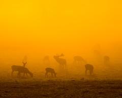 Good Morning Ladies (brwestfc) Tags: ashton court bristol deer autumn mist rut red sunrise wild life sun