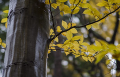 Falling Slowly (aaron_gould) Tags: leaf fall trees forest autumn rain yellow brown green nikon d7000 bokeh outside nikkor
