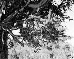 A Fruitful Bough (Apologies to Andrew Wyeth) (corpuscle islands) Tags: bristlecone pine ancient forest bw black white medium format california sierra great basin film analog bristleconepine ancientbristleconepineforest blackandwhite mediumformat pentax67 pinuslongaeva acros100 neopan fuji