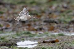 Bar-tailed Godwit in flight (chrisbarber6) Tags: birdinflight birdphotography bird bartailedgodwit whitburn godwit wader sigma500mmf4 canon7dmark2