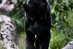 i'm coming for you (Soren Wolf) Tags: black panther panthers animal animals looking majestic proud big cat cats leopard leopards grass nikon d7200 300mm mammal zoo cracow
