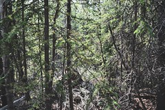 yukon [dense] (i threw a guitar at him.) Tags: yukon territory canada road trip 2018 highway 1 alaska summer camping adventure travel explore trees woods dense tight thick pine needles nature wild lost hiking hiker bear scat trailhead pull out remote location brush bush