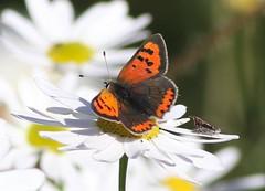 Small Copper (Lycaena phlaeas) (MarkWalpole) Tags: smallcopper lycaenaphlaeas butterfly saltholme rspb uk canoneos7dmarkii ef400mmf56lusm