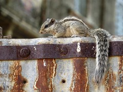 nawalgarh 2017 (gerben more) Tags: squirrel rodent india rajasthan animal