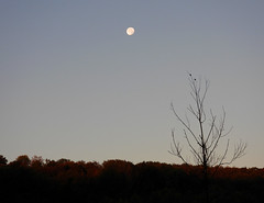 To The Dawn Of A New Day... (Vulpe Photographie) Tags: paysage landscape forest forêt sky ciel moon lune nikon coolpix p1000 france normandie normandy eure nature