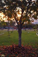 Falling leaves (Otacílio Rodrigues) Tags: parque grama árvore folhas leaves pôrdosol sunset natureza urban nature resende brasil oro contraluz