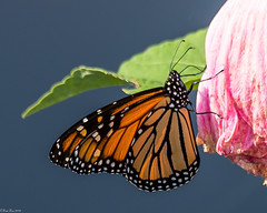 Lingering royalty (Fred Roe) Tags: nikond810 nikkorafs80400mmf4556ged nature wildlife insect butterfly monarch danausplexippus peacevalleypark