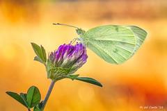Rueda fortuna (Especial summer edition) (gatomotero) Tags: olympusomdem1 mzuiko60 macrofield ambiente bokeh verano blanquitadelacol lepidopteros aliste rabanales zamora