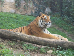 Tiger (PaoloF- Kiss me like the ocean breeze) Tags: animal planet tiger tigre