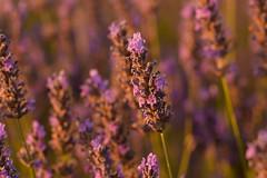 Lavanda (Hachimaki123) Tags: plant planta lavanda lavender flor flower brihuega