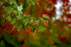 ... on   our street (mariola aga) Tags: autumn fall seasons colors change trees branch leaves dof bokeh green red nature