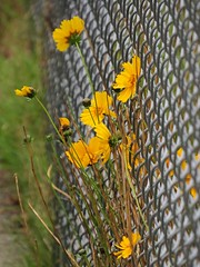 Daisy Fence (Shelley Penner) Tags: yellow daisies chainlink fence vancouverisland