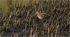 Snipe (Gary Watson) Tags: canon 7d cano500f4 1x4tc north norfolk cley walsey hills snipes marsh coastal