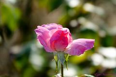 Roses roses (Ezzo33) Tags: france gironde nouvelleaquitaine bordeaux ezzo33 nammour ezzat sony rx10m3 parc jardin fleur fleurs flower flowers rose roses