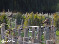 2 for the price of one (ronaldort1311) Tags: buzzard buizerd vogel bird