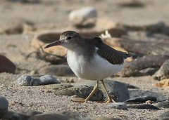 Spotted Sandpiper (Actitis macularius) 1st winter. (MarkWalpole) Tags: spottedsandpiper sandpiper marske wader ef400mmf56lusm canoneos7dmarkii uk