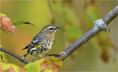 Curious Warbler (hd.niel) Tags: yellowrumpedwarbler warblers fall migration autumn nature birds leaves colours wildlife photography ontario