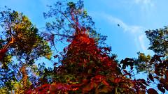 Pine With Autumn Creeper (obscure.atmosphere) Tags: deutschland germany hamburg herbst autumn otono automne 秋 가을 laub foliage natur nature naturista naturaleza 自然 자연 wald forest bosque selva foret 森林 숲 woods landscape landschaft paisajes region paysage 景色 의풍경 bush blätter leaves baum bäume tree trees plants pflanzen drausen licht light 光 빛 ligero lumiere sonnenschein sonnenlicht sunlight sunshine 日 태양 sunny sonnig atmosphere atmospheric atmosphäre atmosphärisch colorful farbenpracht himmel heaven sky cielo cieux 天 하늘 kiefer pine pinewood kiefernwald