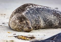 18A_1233 (Mark Ritter) Tags: seal seals macro lajolla california