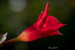 Die Trichterblume fängt die Herbstsonne ein (Peter Goll thx for +8.000.000 views) Tags: garden dipladenia herbst nature flower garten trichterblume autum atum natur blume erlangen bayern deutschland de macro makro