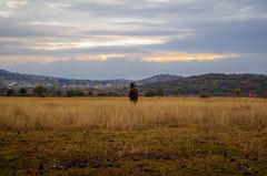 The Loner (Celtis Australis) Tags: pentaxk50 kitlens horse grass sky sunset dusk autumn dry