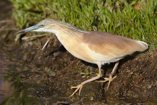 "Squacco Heron, Ardeola ralloides at Marievale Nature Reserve, Gauteng, South Africa. • <a style=""font-size:0.8em;"" href=""http://www.flickr.com/photos/93242958@N00/44482196174/"" target=""_blank"">View on Flickr</a>"