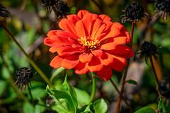Pretty Orange Flower (John Brighenti) Tags: newyorkstate newyork upstatenewyork centralnewyork fingerlakes oudoors nature outside sony alpha autumn fall flower petals bloom red orange green yellow sel70300g a7ii ilce7m2 sonyshooter john brighenti johnbrighenti