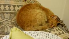 Mario (Sandy Austin) Tags: cat ginger sandyaustin westauckland auckland northisland newzealand massey