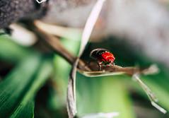 Beetle (Robbie E-M52) Tags: beetle red 1240 olympus em5markii macro bug nurragingy