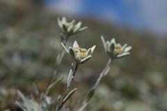 édelweiss à la cabane des Dix (bulbocode909) Tags: valais suisse valdesdix cabanedesdix fleurs édelweiss nature mmontagnes vert jaune bleu