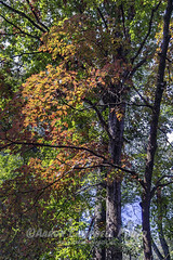 Backlit Foliage, 2018.10.22 (Aaron Glenn Campbell) Tags: outdoors optoutside autumn fall leaves foliage nature trees backlighting backlit morning sunlight shadows knoxcounty knoxville tennessee tn sony a6000 ilce6000 mirrorless fotodiox lensadapter canon fd28mmf28 wideangle primelens manualfocus emount