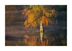 Lt-2018-0903 explore (thierry lathoud) Tags: tala lathoudthierry lescyprèschauves automne couleurs colors orange étang pond icm tree arbre reflet reflection baldcypress paysage landscape