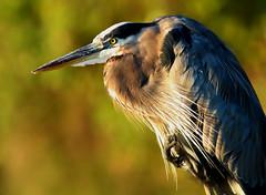 Autumn Heron Portrait (dianne_stankiewicz) Tags: heron greatblueheron nature wildlife feathers wings beak autumn ngc