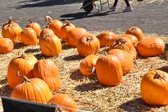 DSC_2547 (earthdog) Tags: 2018 needstags needstitle nikon d5600 nikond5600 18300mmf3563 fall autumn pumpkinpatch spinafarms farm