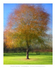 autumn tree (Eustace Tierney) Tags: multipleexposure leaves bluesky fermanagh eustacetierney foliage trees autumn impressionism intheround