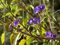 solanum rantonnetii (fotomie2009) Tags: flower fiore flora solanum rantonnetii purple fence bokeh