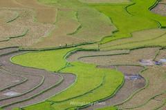 _J5K2198.0918.Lìm Mông.Cao Phạ.Mù Cang Chải.Yên Bái (hoanglongphoto) Tags: asia asian vietnam northvietnam northwestvietnam landscape scenery vietnamlandscape vietnamscenery vietnamscene mucangchailandscape terraces terracedfields seasonharvest curve abstract canon hdr canoneos1dsmarkiii canonef200mmf28liiusm tâybắc yênbái mùcangchải ruộngbậcthang lúachín mùagặt đườngcong trừutượng caophạ lìmmông mùcangchảimùalúachín mùcangchảimùagặt ruộngbậcthangmùcangchải people minimalesmi người tốigiản phongcảnhcóngười peopleinlandscape