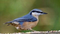 Nuthatch (Sitta europaea) - Taken at Barnwell Country Park, Oundle, Northants. UK. (Ian J Hicks) Tags: