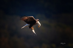 Bow to the nature (Jiabin L) Tags: fishing birdinflight eagle fallmigration baldeagle