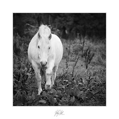 Weißes Pferd (AnthonyCNeill) Tags: horse pferd caballo cheval animal tier equine equestrian black white blanco negro schwarz weiss noir blanc mono monochrome square format 35mm film nikon fm2n ilford hp5 field countryside grüne outdoor biancoenero bianco nero