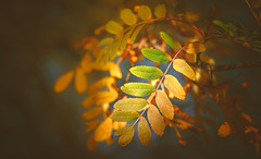 Autumn Series - 8 (Dhina A) Tags: sony a7rii ilce7rm2 a7r2 a7r kaleinar mc 100mm f28 kaleinar100mmf28 5n m42 nikonf russian ussr soviet 6blades manualfocus autumn colors bokeh berries